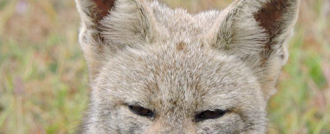 zorro chilla (Lycalopex griseus) - Diario Puerto Varas