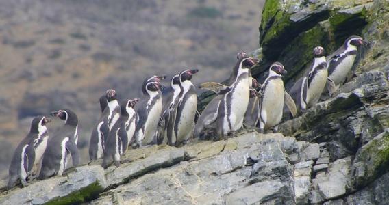 Pinguino de Humboldt - No Dominga - Diario Puerto Varas