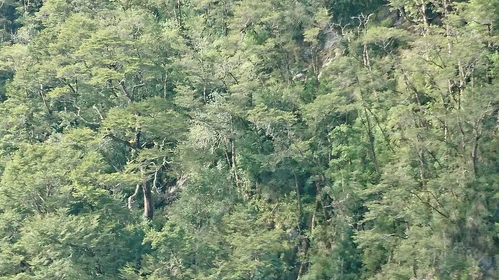 Árboles nativos - Patagonia - Diario Puerto Varas