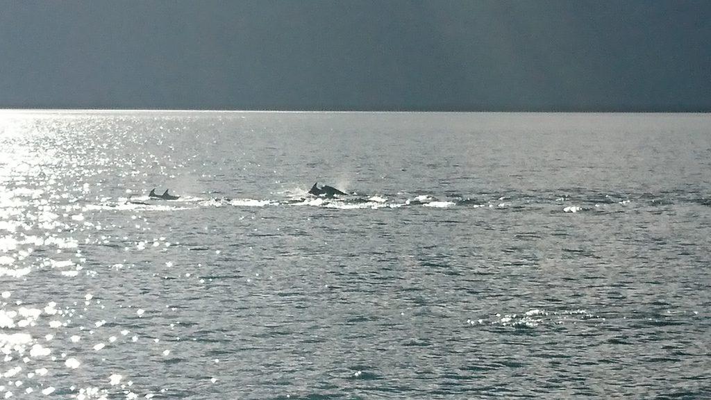 Delfín Chileno - Isla Llancahué - Diario Puerto Varas